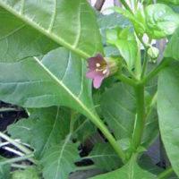 ベラドンナ花