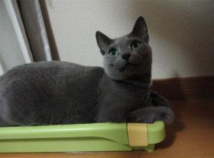 爪とぎ箱に座るすずこ