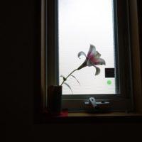 20170608小窓にユリの花