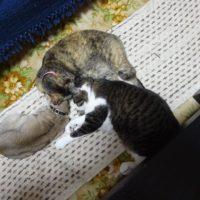 20180109猫の三つ巴