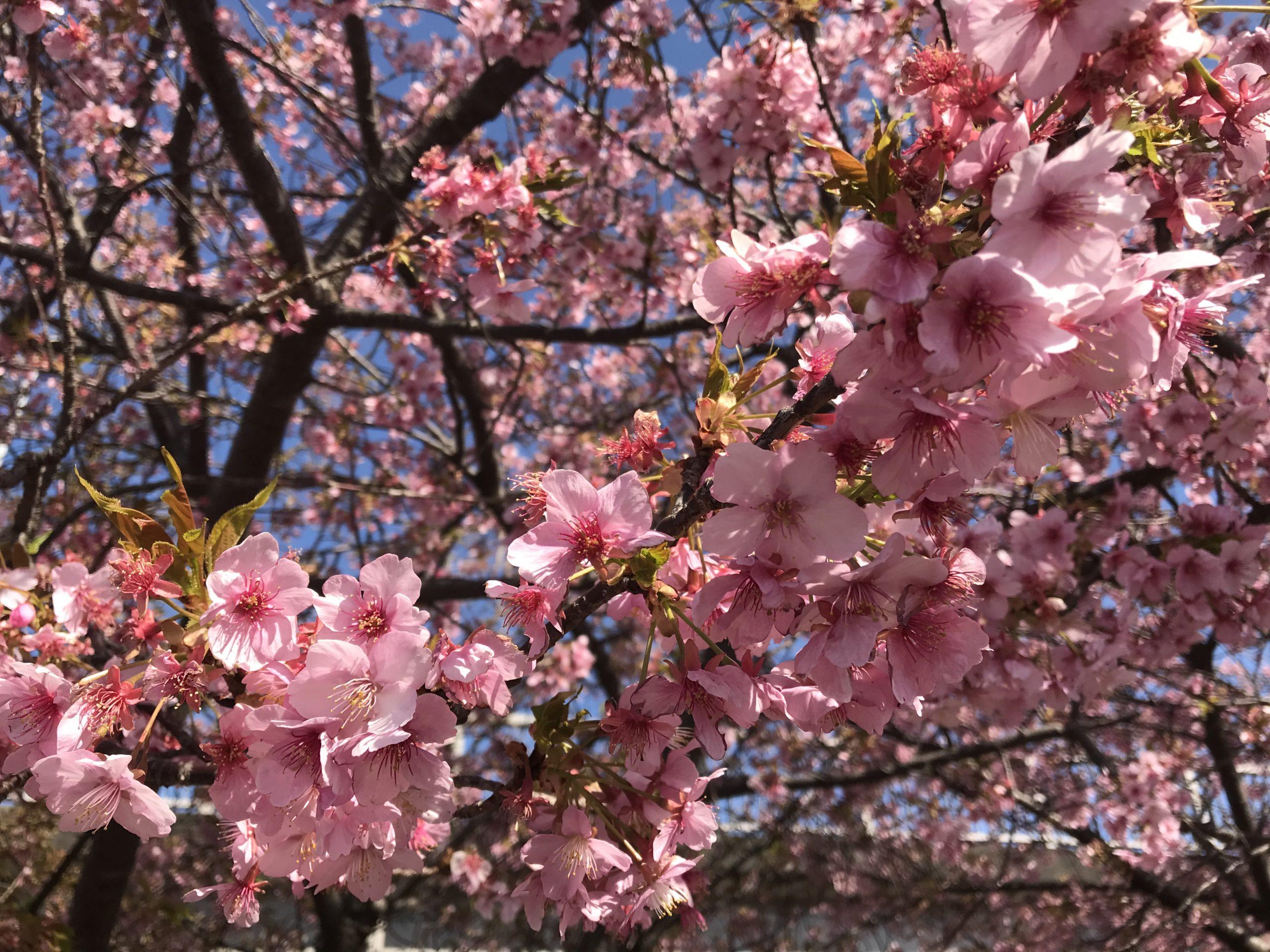 20210228桜3