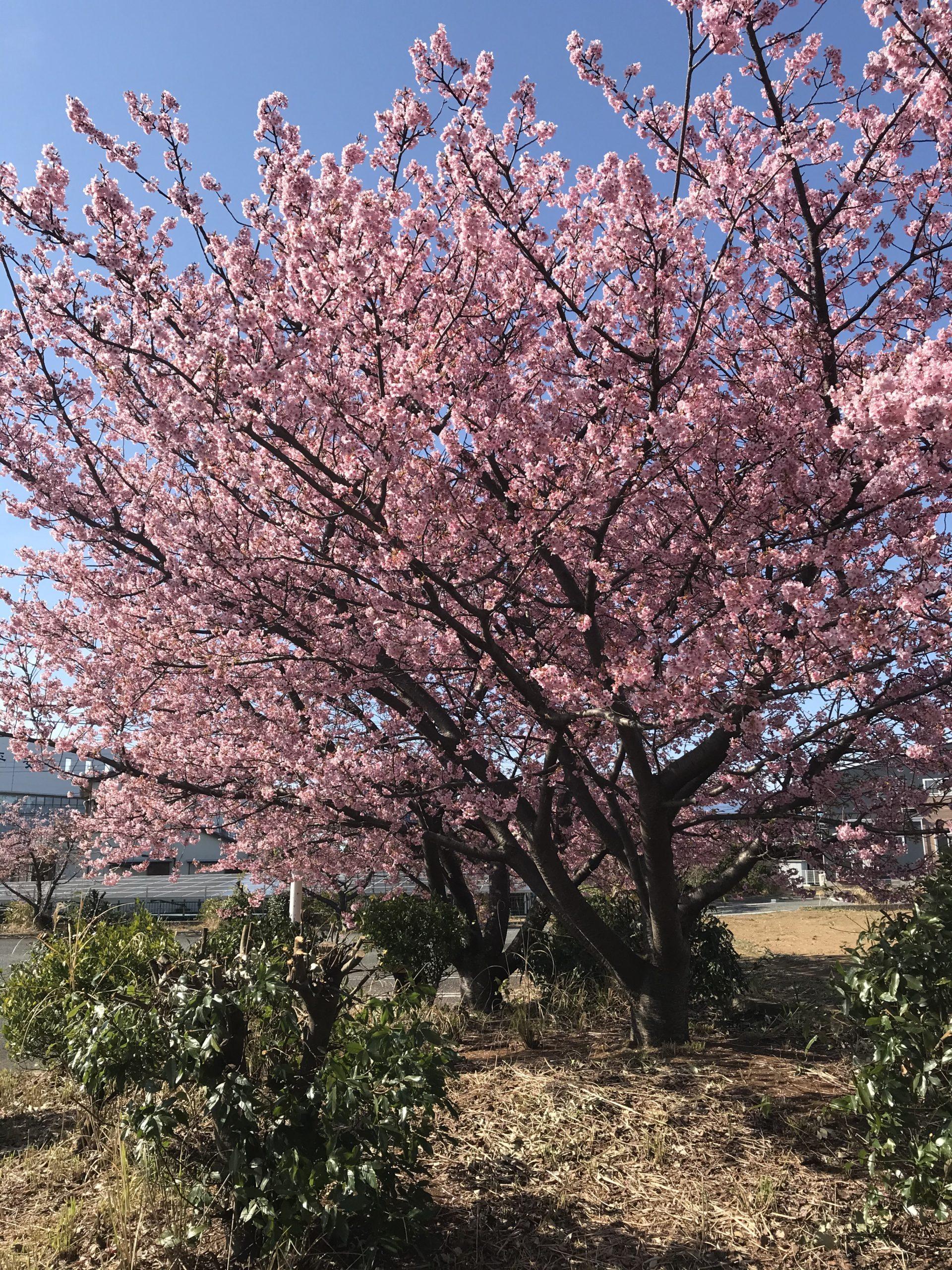 20210228桜5